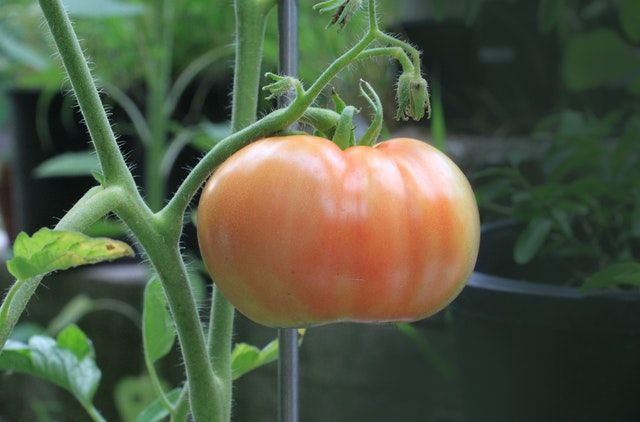 tomate planta